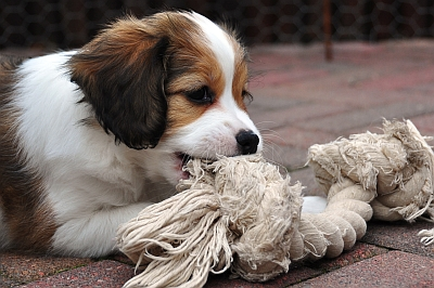 Purchase of a Kooikerhondje
