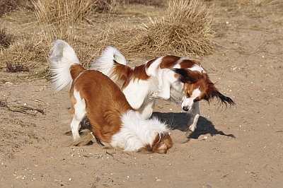 The Kooikerhondje breed